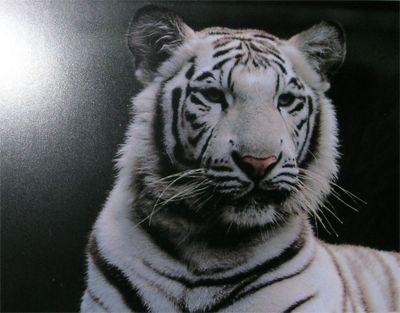 """Obrázok """"http://www.saoshyant.org/images/white_tiger_1.jpg"""" sa nedá zobraziť, pretože obsahuje chyby."""